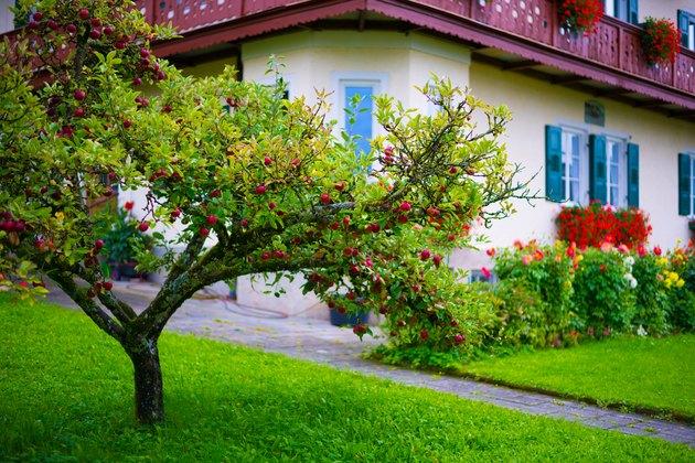 Fruit tree in garden