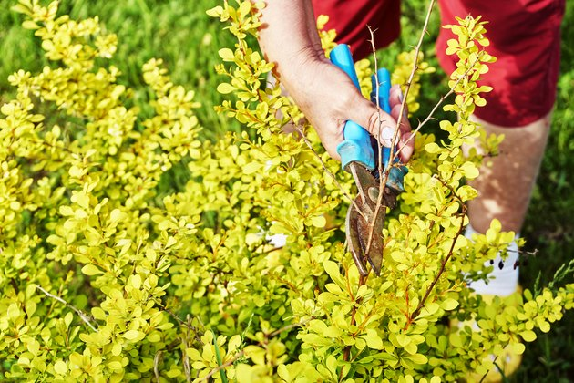 Pruning branches of a berberis shrub with garden clippers outdoors