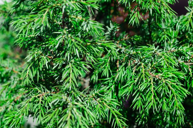 Popular ornamental plants green juniper. background, texture