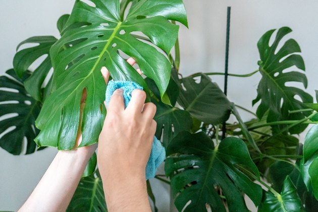 Gardening, man is cleaning monstera's leaves