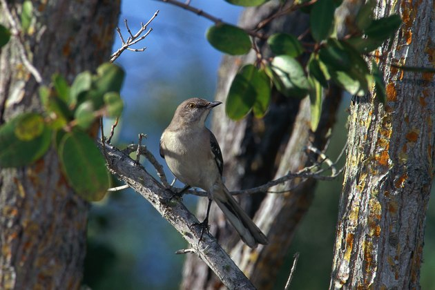 Mockingbird perching on branch