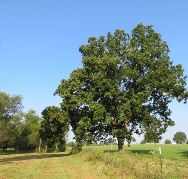Pecan tree in a meadow