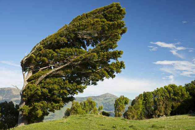 Wind-bowed Podocarpus totara tree, Banks Peninsula, South Island, New Zealand