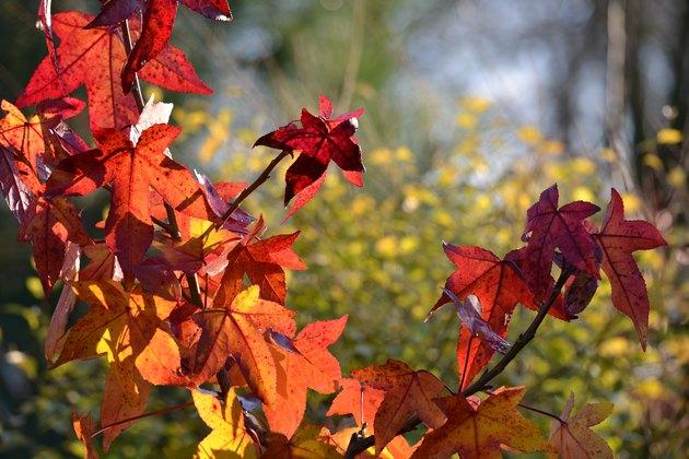 Liquidambar autumn leaves