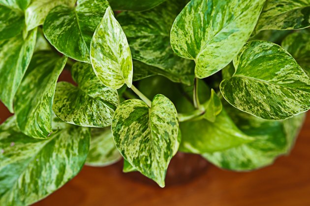 Close up of Golden Pothos in a tree vase on wooden table, white and green leaves texture