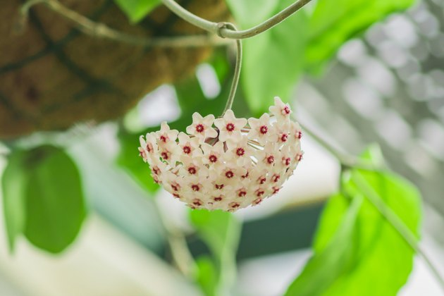 blooming tropical plant hanging over head in botanical garden. Hoya carnosa