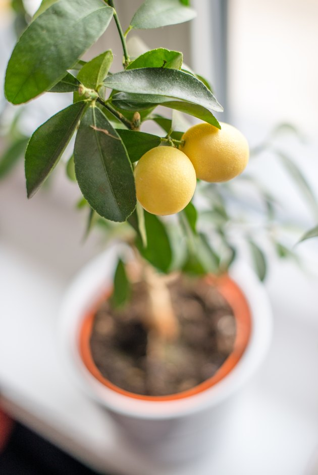 Lemon tree interior plant