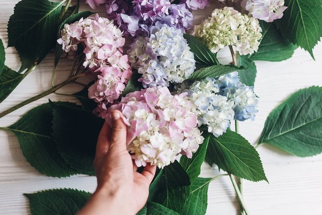Hand holding pink hydrangea flower on background of colorful bouquet on rustic white wood. Happy mothers day. International Women's day. Purple hydrangea petals and green stem