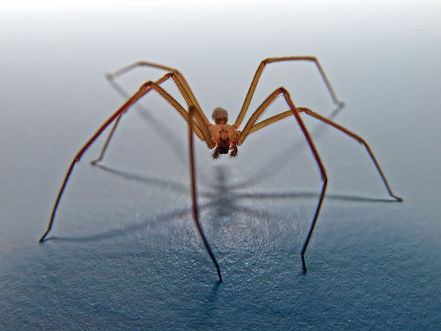 Brown recluse spider, Arizona, America, USA