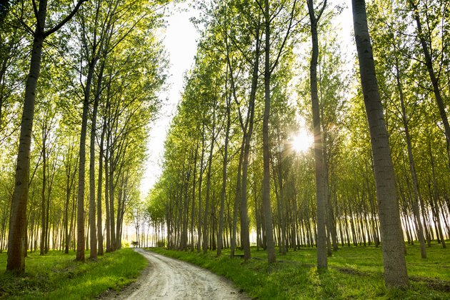 dirt road through poplar trees