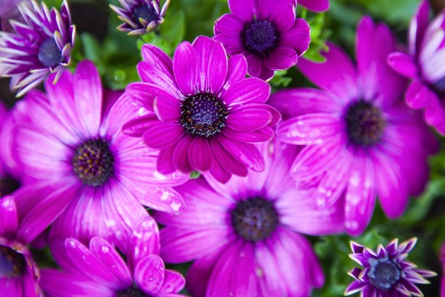 Pink Pericallis, called cineraria flowers