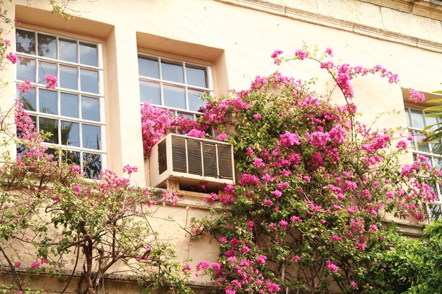 Bougainvillea on building