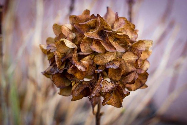 Hydrangea dry in autumn