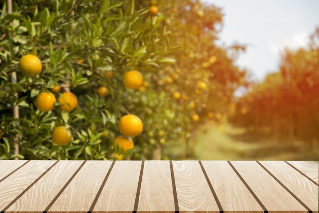 Tangerine sunny garden with green leaves and ripe fruits.