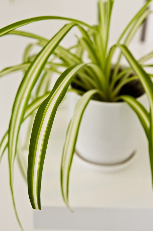 An elegant green pot plant as room decoration against white wall. Spider plant or Chlorophytum comosum