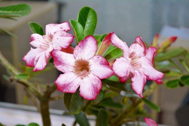 Beautiful desert rose (Adenium obesum)