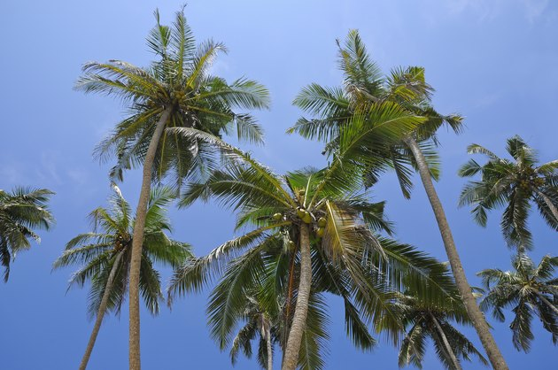 Beautiful Coconut palm trees - South East Asia