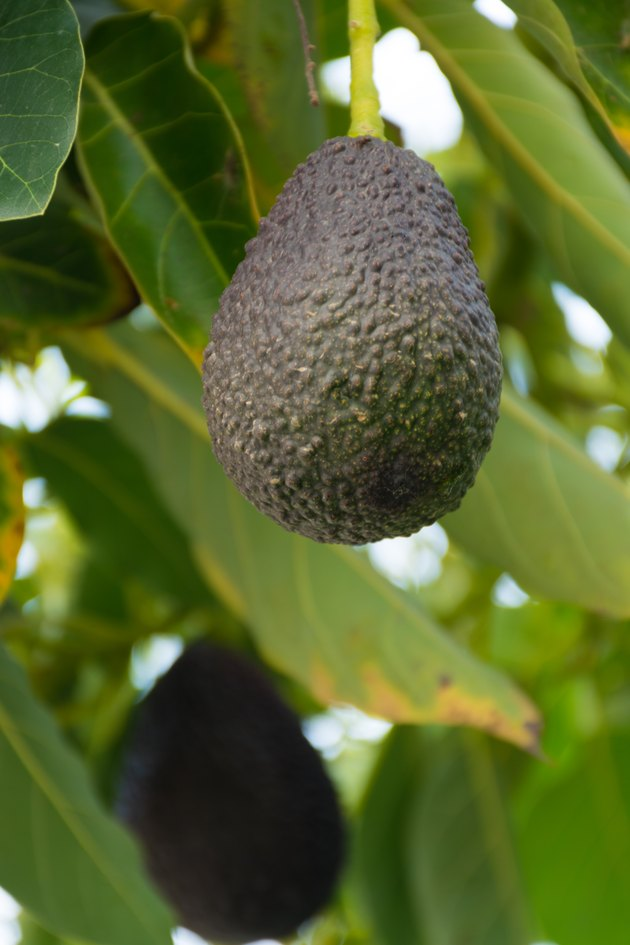 Green ripe avocado hanging on the tree