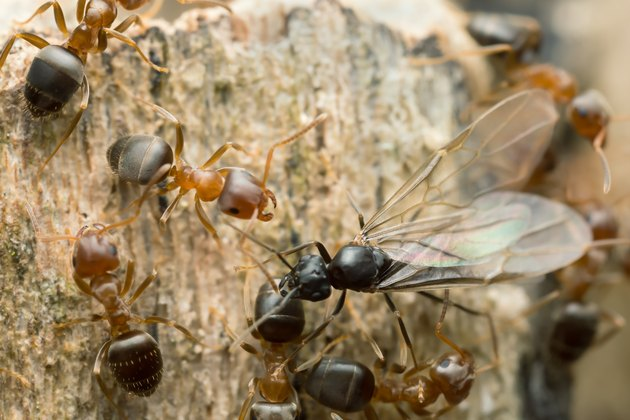 Swarming brown tree ants, Lasius brunneus on wood