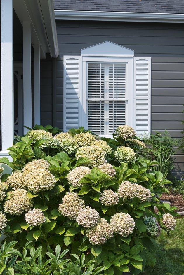 Hydrangea plant with window