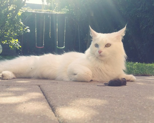 White Cat Sitting By Dead Rat On Footpath