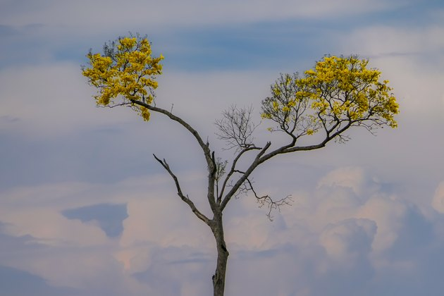 Yellow blooming Ipè tree with two branches against defocused evening sky background, Chapada dos Guimarães, Mato Grosso, Brazil, South America