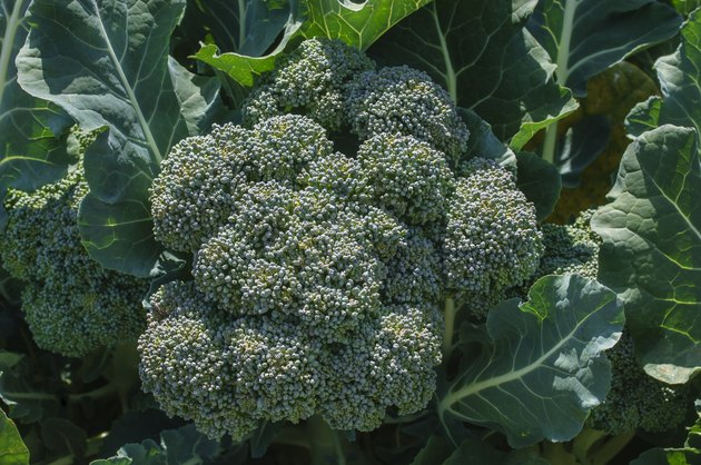 Close-up of Broccoli Cluster Growing in Field