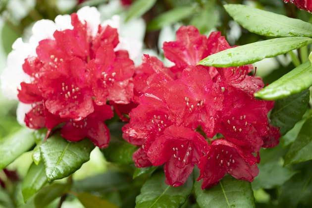 Colorful flowering rhododendron after rain