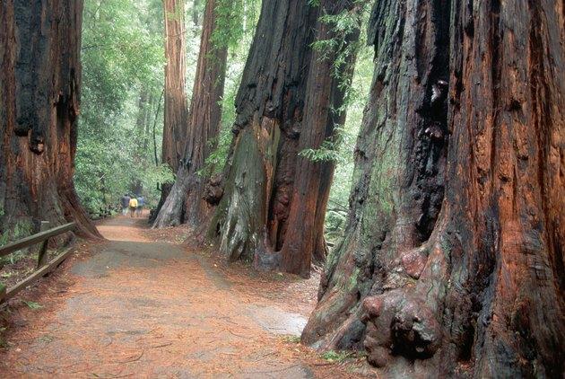 Trail Through Cedar Trees