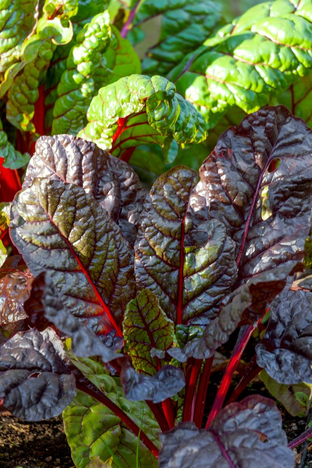Beet leaves at the garden, close up.