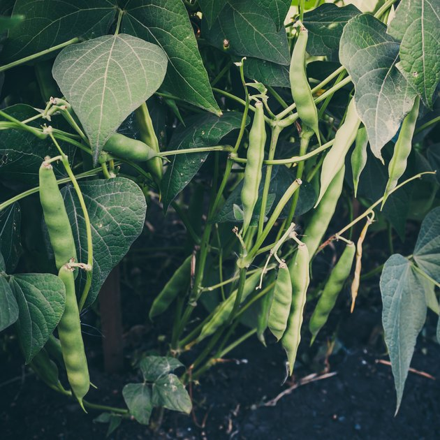 String beans growing out of ground. Gardening for healthy diet, vegetable vegetarians