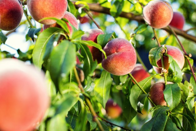 juicy peaches hang on a branch