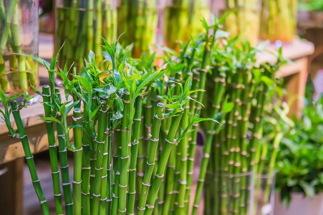 Lucky bamboo plant in the greenhouse