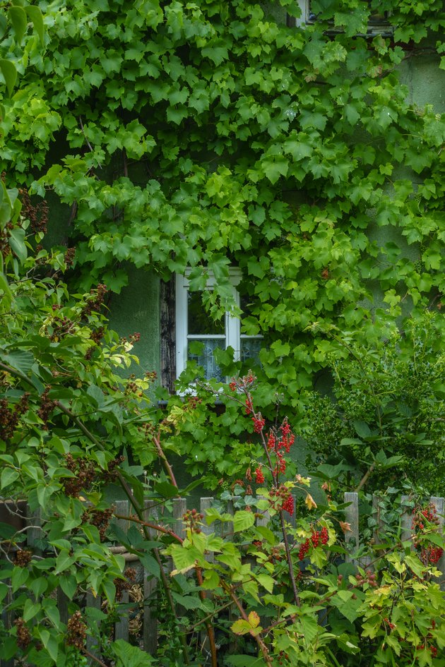 garden house with window and wild vines.