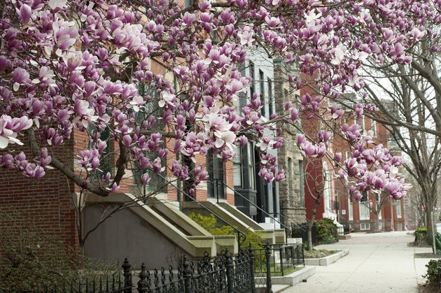 Houses with blooming magnolia in Baltimore