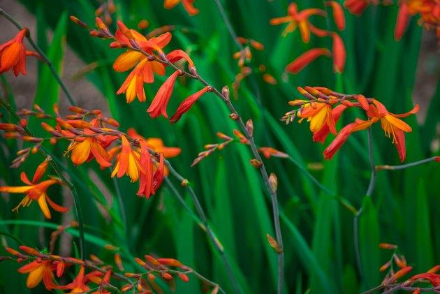 Crocosmia (montbretia)  orange, small flowers