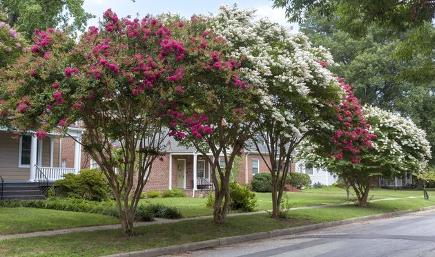Red and White Crepe Myrtle