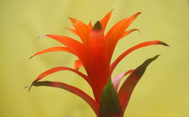 guzmania plant on yellow background