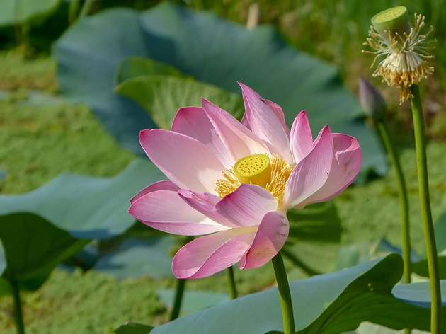 Lotus flower in bloom on Dal Lake, Kashmir