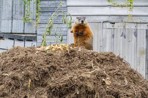 Marmot (Marmota monax) feeding on a pile of compost; Quebec, Canada