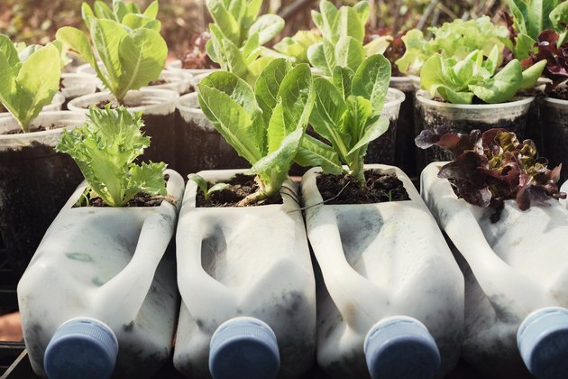 growing lettuce in used plastic bottles and cups, reuse recycle eco concept
