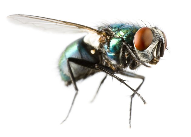 Extreme close-up of a flying house fly
