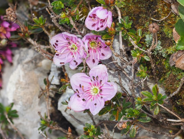 Dwarf Rhododendron (Rhodothamnus chamaecistus) blooming in the Alps