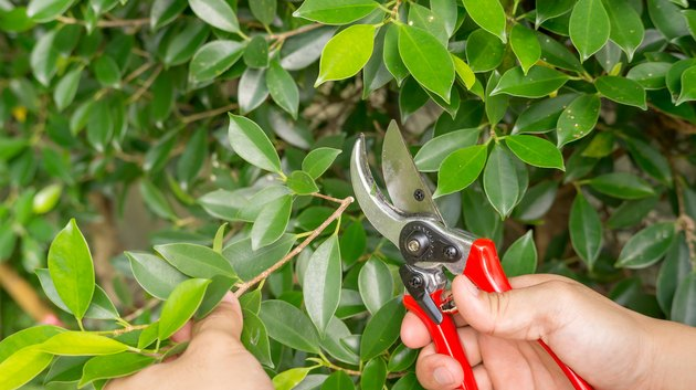 Man cutting a Ficus annulata tree with clippers.