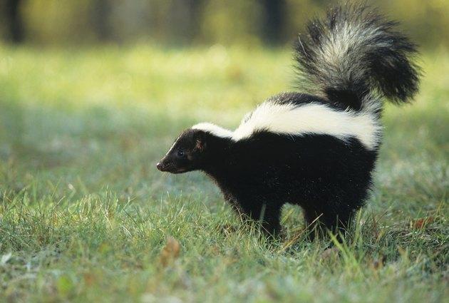 Striped skunk (Mephitis mephitis) spraying, USA