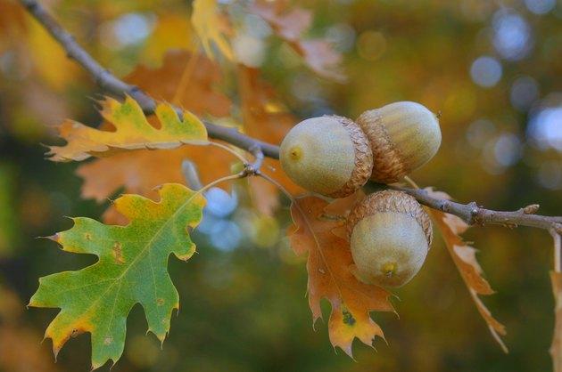 Fall Colors Acorns
