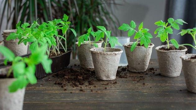 Transplanting seedlings, pricking out