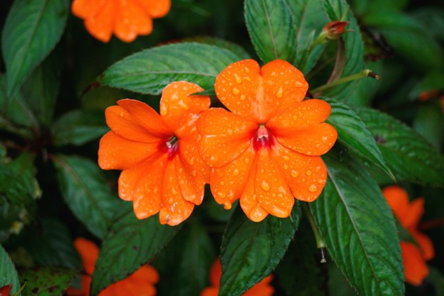 Flower - New Guinea Impatiens