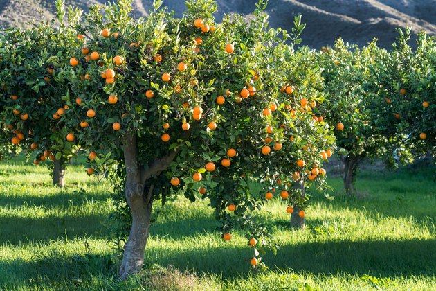 full tree of Oranges