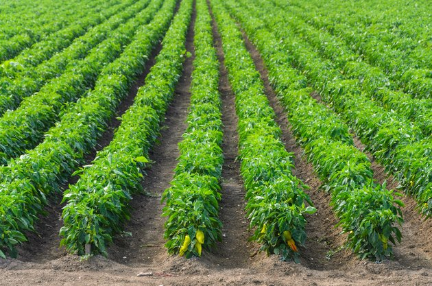Peppers growing in a field with irrigation system
